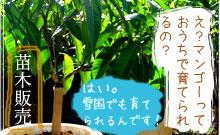 ご家庭でマンゴー栽培!苗木販売いたします。
